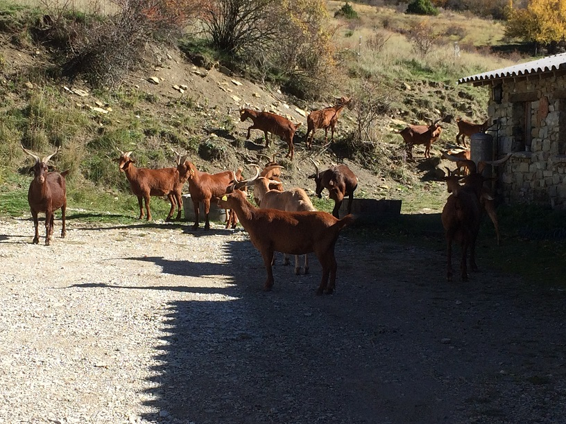 29 Les chèvres du gite